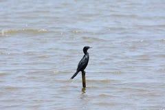 Oiseau de Cormorant image libre de droits