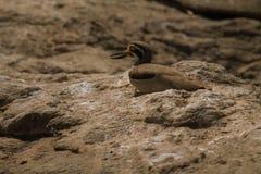 Oiseau de courlis cendrés en pierre Image stock