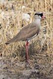 Oiseau de courser à ailes par bronze Photographie stock