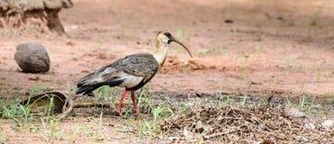 Oiseau de Curicaca marchant sur le plancher de saleté et une certaine herbe Image libre de droits