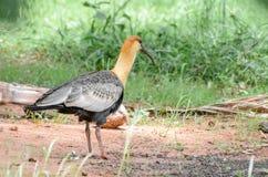 Oiseau de Curicaca marchant sur le plancher de saleté et une certaine herbe Photo stock