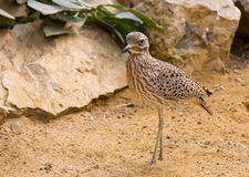 Oiseau de désert Image libre de droits
