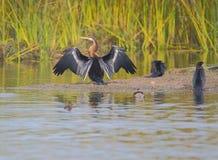 Oiseau de Darter Photos libres de droits