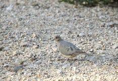 Oiseau de deuil de colombe, désert de Tucson Arizona images stock