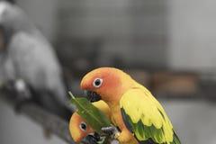 Oiseau de deux le bel du soleil perroquets de conure mangent de la nourriture Image stock