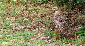 Oiseau de Dikkop repéré par cap photo stock
