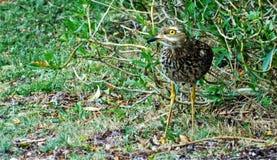 Oiseau de Dikkop repéré par cap photos stock