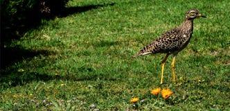Oiseau de Dikkop repéré par cap image stock