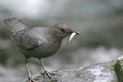 Oiseau de Dipper d'Ouzel d'eau au bord de cascades Images stock