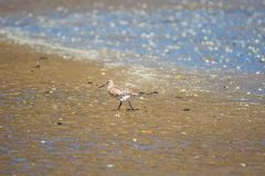 Oiseau de Dotteral dans l'estuaire photos stock