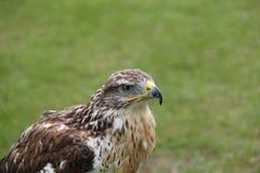 Oiseau de faucon photos stock
