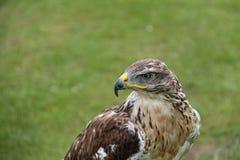 Oiseau de faucon photographie stock