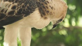 Oiseau de faucon d'aigle de serpent de proie sur la fin verte de branche d'arbre  Aigle prédateur de serpent d'oiseau en nature s banque de vidéos