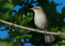 Oiseau de fauvette de carex été perché dans l'arbre d'aubépine Photo libre de droits