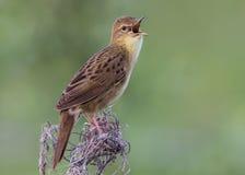 Oiseau de fauvette de sauterelle chantant sa chanson tournoyante Photographie stock