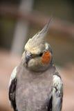 Oiseau de ferme de guindineau de Pili Palas Photographie stock