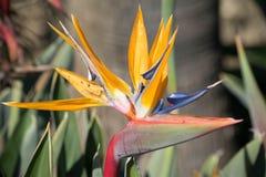 Oiseau de fin de fleur de paradis vers le haut Images libres de droits