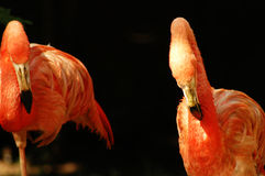 Oiseau de flamant Images libres de droits