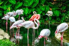 Oiseau de flamants dans le zoo Image stock