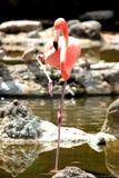 Oiseau de Flamengo image libre de droits