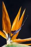 Oiseau de fleur de paradis Photographie stock