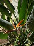 Oiseau de fleur de paradis Oahu Hawaï photos stock