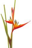 Oiseau de fleur du paradis tropical, d'isolement Images stock
