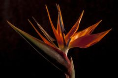 Oiseau de fleur de paradis, reginae de Strelitzia photos libres de droits