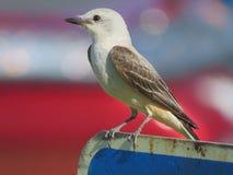 Oiseau de FLYCATCHER de queue de ciseaux été perché images libres de droits