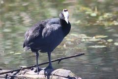 Oiseau de foulque maroule de Redknobbed Images libres de droits
