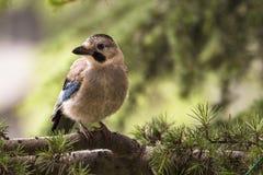 Oiseau de geai sur une brindille Photo stock