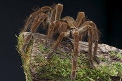 Oiseau de Goliath mangeant l'araignée Image libre de droits