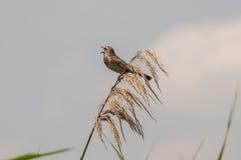 Oiseau de gorge bleue Images libres de droits