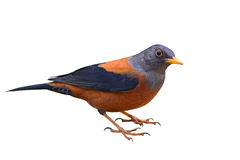 Oiseau de grive de châtaigne Photo stock