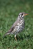 Oiseau de grive en bois Images stock