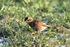 Oiseau de grive mauvis Images stock