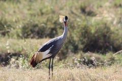 Oiseau de grue dans la savane images libres de droits