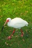 Oiseau de grue marchant sur l'herbe Photographie stock libre de droits