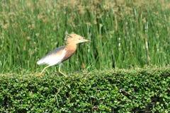 Oiseau de héron d'étang Photo stock