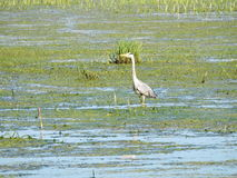 Oiseau de héron dans le marais Photo libre de droits