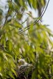Oiseau de héron de bétail avec des nanas Image stock
