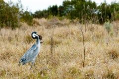 Oiseau de héron de grand bleu attrapant une souris - image 1 de 4 Photographie stock