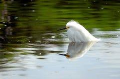Oiseau de héron de Milou avec la réflexion dans l'eau Image stock