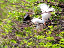 Oiseau de héron de Milou dans le plumage d'élevage dans les marécages Image stock