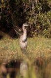 Oiseau de héron de grand bleu, herodias d'Ardea, dans le sauvage Photo stock