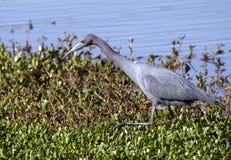Oiseau de héron de petit bleu, la Géorgie Etats-Unis Image stock