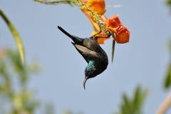 Oiseau de Hamming image stock