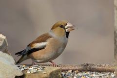 Oiseau de Hawfinch Photos stock
