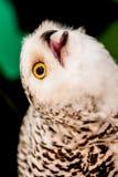 Oiseau de hibou photo libre de droits