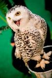 Oiseau de hibou photos libres de droits